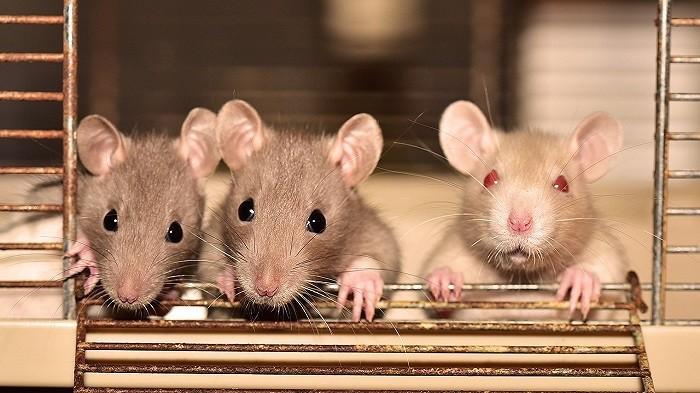 Taukah Kamu, Ternyata Ini Penyebab Tikus Tetap Datang ke Rumah Walaupun Sudah Dibersihkan