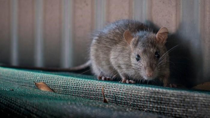 Cara Usir Tikus yang Berdiam di Plafon Rumah